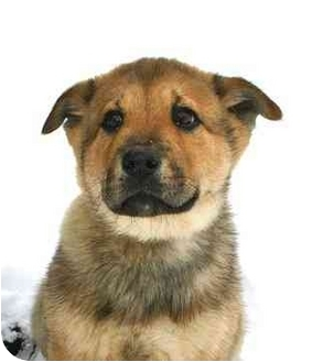 German Shepherd Dog/Chow Chow Mix Puppy for adoption in Ladysmith, Wisconsin - D9250