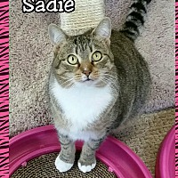 Domestic Shorthair Cat for adoption in Atco, New Jersey - Sadie