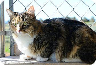 Domestic Mediumhair Cat for adoption in Gardnerville, Nevada - Venus