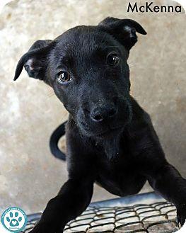Rottweiler/Shepherd (Unknown Type) Mix Puppy for adoption in Kimberton, Pennsylvania - McKenna