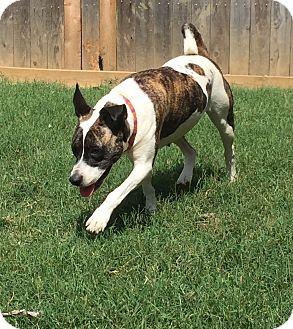 Akita/Labrador Retriever Mix Dog for adoption in Colmar, Pennsylvania - Lily