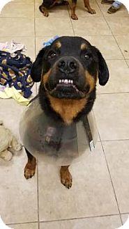 Rottweiler Dog for adoption in Reisterstown, Maryland - Diesel