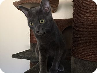 Russian Blue Kitten for adoption in Santa Ana, California - Quincy