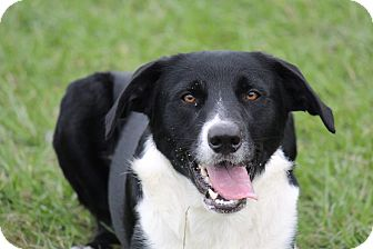 Border Collie Mix Dog for adoption in Fort Atkinson, Wisconsin - Sam