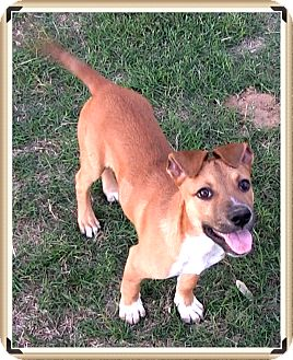 Australian Shepherd/German Shepherd Dog Mix Puppy for adoption in Olympia, Washington - Jack
