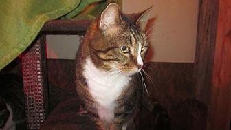 Domestic Shorthair Cat for adoption in Springfield, Oregon - Emma