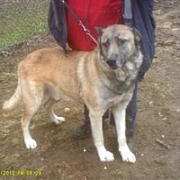Shepherd (Unknown Type) Mix Dog for adoption in Claymont, Delaware - Jaxon
