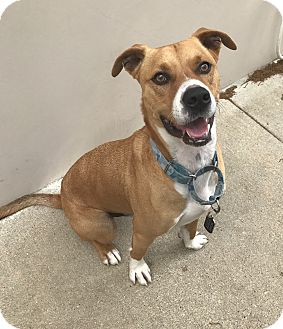 Boxer/Retriever (Unknown Type) Mix Dog for adoption in Austin, Texas - A - LUKE