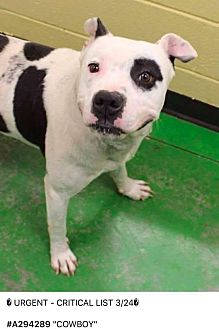 American Staffordshire Terrier/Pit Bull Terrier Mix Dog for adoption in Covington, Tennessee - Cowboy