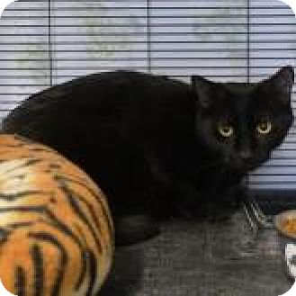 Domestic Shorthair Cat for adoption in Barrie, Ontario - Loverboy