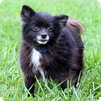 Adopt A Pet :: Midnight - Waldorf, MD