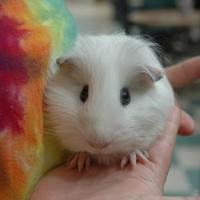 Adopt A Pet :: Petunia - Bedford, NH