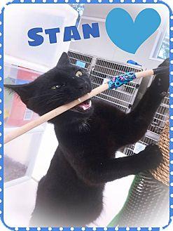 Domestic Shorthair Cat for adoption in Webster, Massachusetts - Stan