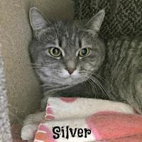 Adopt A Pet :: Silver - Crossfield, AB