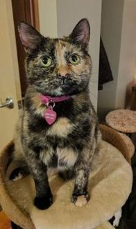 Domestic Shorthair/Domestic Shorthair Mix Cat for adoption in Des Moines, Iowa - Zsa Zsa