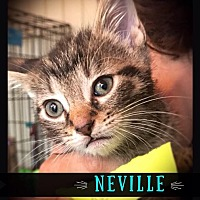 Adopt A Pet :: Neville - Hartford City, IN