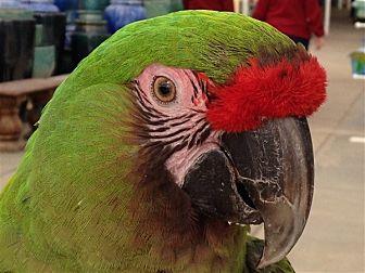 Macaw for adoption in Elizabeth, Colorado - Athena
