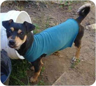 Miniature Pinscher/Terrier (Unknown Type, Small) Mix Dog for adoption in Fowler, California - Bruce Almighty