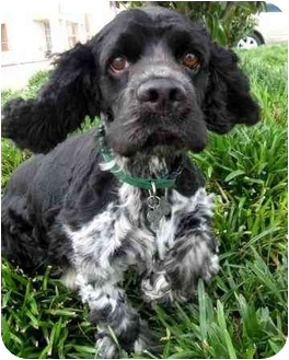 Cocker Spaniel Dog for adoption in Sugarland, Texas - Sampson