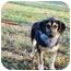 Photo 2 - Dachshund/German Shepherd Dog Mix Puppy for adoption in Bowie, Maryland - Casey