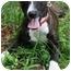 Photo 1 - Italian Greyhound/Labrador Retriever Mix Dog for adoption in kennebunkport, Maine - Lilah - Pending!