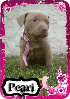 American Pit Bull Terrier Puppy for adoption in Ontario, California - Pearl