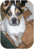 Spaniel (Unknown Type) Mix Puppy for adoption in Beacon, New York - Maggy
