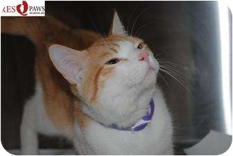 Domestic Shorthair Cat for adoption in Yuba City, California - Lionel (unknown age)
