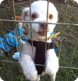 Poodle (Miniature) Mix Puppy for adoption in Arcadia, California - Finn