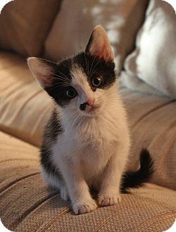 Siamese Kitten for adoption in Smyrna, Georgia - Boo