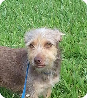 Terrier (Unknown Type, Small) Mix Puppy for adoption in Washington, D.C. - Taffy