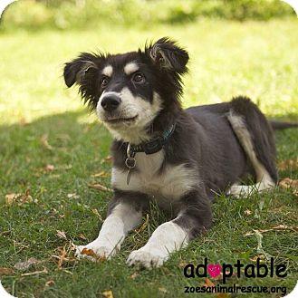 Shepherd (Unknown Type) Mix Puppy for adoption in Edmonton, Alberta - Silver