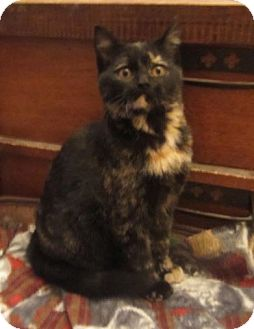 Domestic Shorthair Kitten for adoption in Des Moines, Iowa - Holly