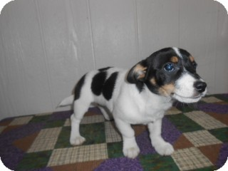 Beagle/Corgi Mix Puppy for adoption in East Hartford, Connecticut - Riley-pending adoption