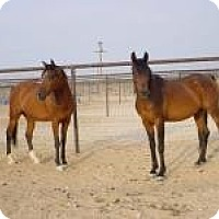 Arabian for adoption in Lucerne Valley, California - Wings of Fire & Dragonfly
