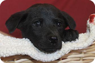 Shepherd (Unknown Type)/Hound (Unknown Type) Mix Puppy for adoption in Waldorf, Maryland - Washington