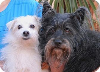 Terrier (Unknown Type, Small) Mix Dog for adoption in Las Vegas, Nevada - Lovey