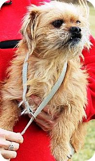 Shih Tzu/Terrier (Unknown Type, Small) Mix Puppy for adoption in Oswego, Illinois - Sebastian