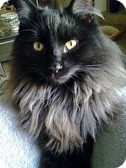 Domestic Longhair Cat for adoption in Manitowoc, Wisconsin - *Sheldon*
