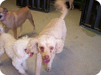 Poodle (Miniature) Mix Dog for adoption in Phoenix, Arizona - Jerry
