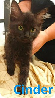 Domestic Longhair Kitten for adoption in Alexis, North Carolina - Cinder
