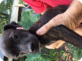 Boston Terrier Mix Puppy for adoption in Kittery, Maine - Raine