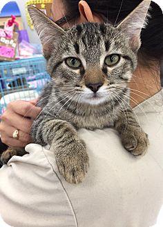 Domestic Mediumhair Kitten for adoption in Mansfield, Texas - Baldur