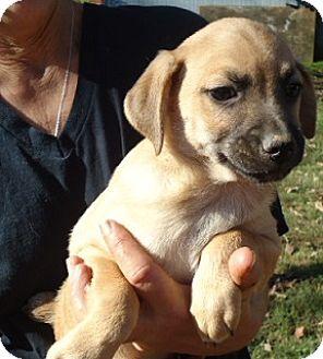 Miniature Pinscher Mix Puppy for adoption in Plainfield, Connecticut - Gus