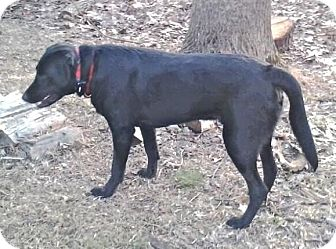 Labrador Retriever Mix Dog for adoption in Rockville, Maryland - PJ