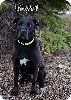 Pit Bull Terrier/Labrador Retriever Mix Dog for adoption in Calgary, Alberta - Ethos