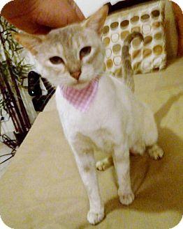 Munchkin Cat for adoption in Pasadena, California - Zara
