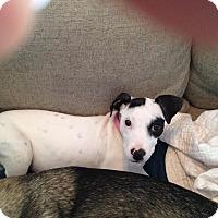 Adopt A Pet :: ADDY - CHICAGO, IL