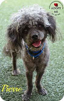 Poodle (Miniature) Mix Dog for adoption in Youngwood, Pennsylvania - Pierre