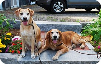 Golden Retriever Dog for adoption in New Canaan, Connecticut - Sara and Rachel